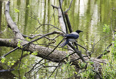 The black crow Royalty Free Stock Photography
