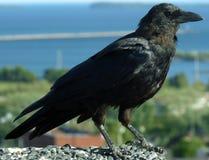 Black Crow. (Corvus brachyrhynchos) Bad Omen Royalty Free Stock Image