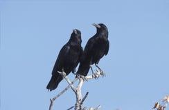 Black crow, Corvus capensis Stock Photo