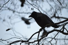 Black Crow Royalty Free Stock Photo