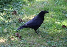 Black crow. Crow, Corvus corone, resting and forging for food on a grassfield Stock Photo
