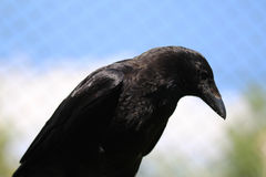 Black crow. Crow, Corvus corone, resting and forging for food on a grassfield Stock Photos