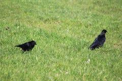 Black crow couple Royalty Free Stock Photo