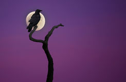 Black crow on dry tree Royalty Free Stock Photography