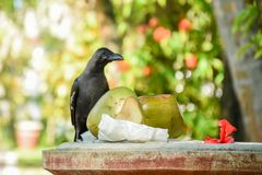 Black crow eating coconuts near dust bin. At the tropical park at Maldives Royalty Free Stock Photo
