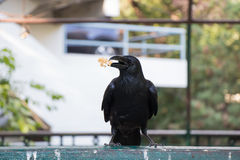 Black crow eating snack on a fence Stock Photography