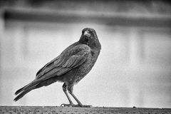 Black crow on a fence Royalty Free Stock Images