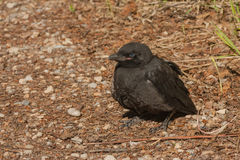 Black Crow Fledgling