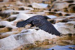 Black crow in flight over rocky terrain. Black crow flying low over rocky terrain Royalty Free Stock Image