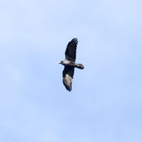 Black crow in flight. Photo of wildlife in the park stock photo