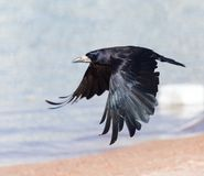 Black crow in flight Sea. In the park in nature royalty free stock images