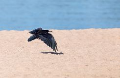 Black crow in flight Sea. In the park in nature royalty free stock photo