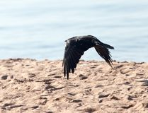 Black crow in flight Sea. In the park in nature stock image