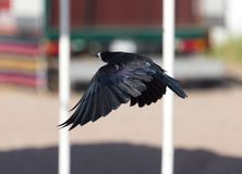 Black crow in flight Sea. In the park in nature stock photo