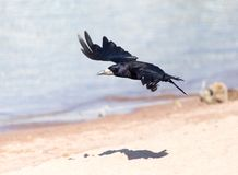 Black crow in flight Sea. In the park in nature stock photography