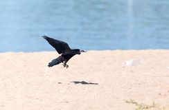 Black crow in flight Sea. In the park in nature stock photos