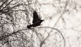 Black crow in flight sky. In the park in nature royalty free stock photos