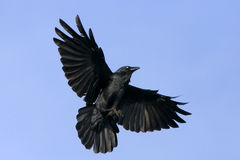 Black crow in flight with spread wings. Black raven flying with spread wings Royalty Free Stock Image
