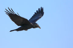Black crow in flight with spread wings. Black raven flying with spread wings Stock Image