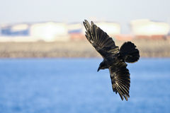 Black crow in flight with spread wings. Black crow in full flight with wings spread wide Stock Photo