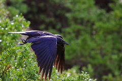 Black crow flying from bush perch. Black raven flying with spread wings Royalty Free Stock Image