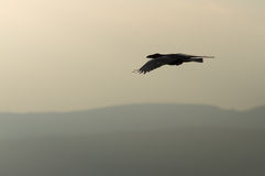 Black crow flying over the mountains. Stock Photo
