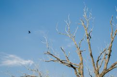 A black crow flying towards a large dry tree, background with a beautiful clear blue sky stock images