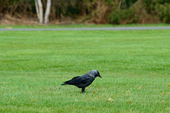 Black crow foraging on green grass. Single large black crow foraging on green grass standing sideways on a lawn with copy space Stock Photos
