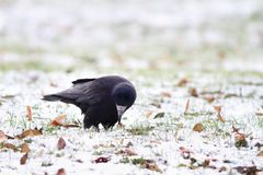 Black crow foraging in a winter day Royalty Free Stock Photography