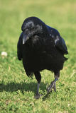 Black Crow on grass. Black Crow walking on grass, deep in thought Stock Image