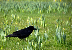 Black crow on grass field. Some plants Stock Images