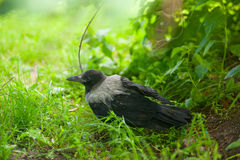 Black crow on grass in forest Royalty Free Stock Photography
