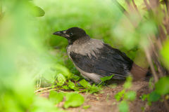 Black crow on grass in forest Stock Images