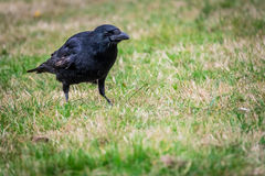 Black crow in a grass Stock Image
