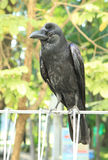 Black crow hold on metal fence Stock Photography