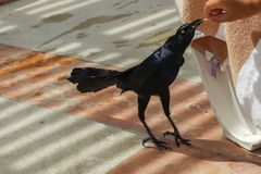 Black crow. By a hotel in Veracruz in mexico. This crow ate the chips out of your hand Royalty Free Stock Photo