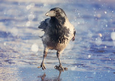 Black crow ice winter wildlife Royalty Free Stock Photo