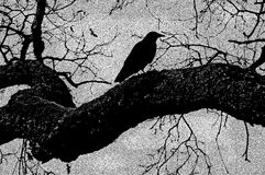 Black Crow Illustration royalty free stock photography