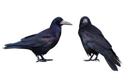 Black crow. Isolated on white. Two Black crow. Isolated on white background stock image