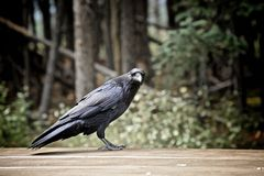 Black crow. Large black crow looking for food Stock Photos