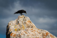 Black crow on a large rock Stock Image