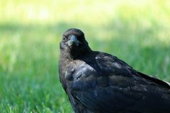 Black crow on lawn Stock Images