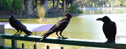 The black Crow Stock Photography