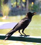 The black Crow Stock Photos