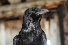 Black crow. Looking to the left royalty free stock photography