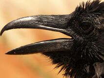 Black Crow in Macro Photgraphy Stock Photography
