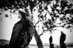 Black crow in nature, superstition and witchcraft. Wild bird detail Stock Photography
