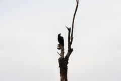 Black Crow perched on branches Stock Photography