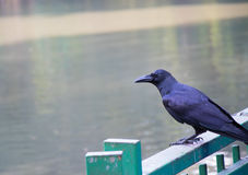 Black crow perched on a fence Royalty Free Stock Photo