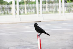 Black Crow perched on a red fence Royalty Free Stock Photography